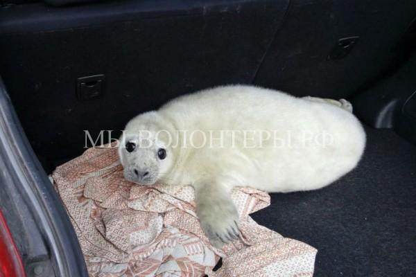 Спасение тюленей в Финском заливе