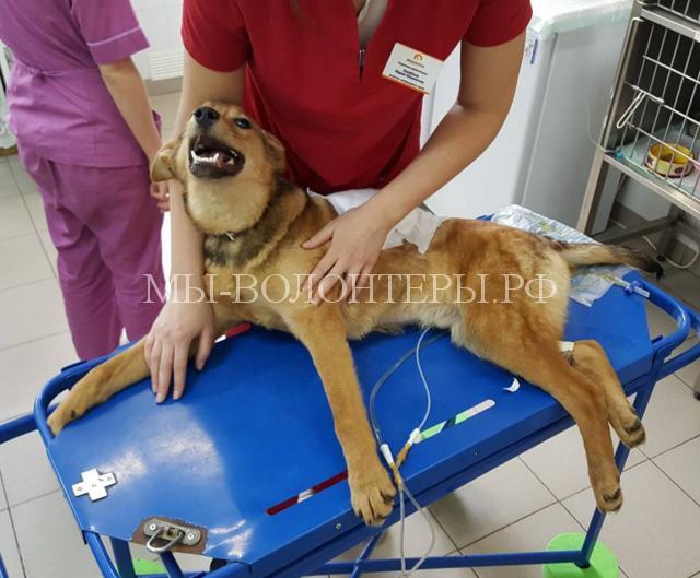 Волонтеры Подмосковья намерены наказать человека, сделавшего щенка инвалидом. Щенок получил пулю от догхантера