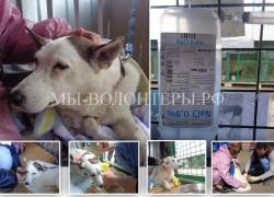 Пироплазмоз у собак — симптомы и лечение в условиях приюта
