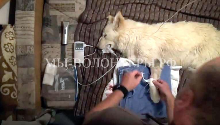 Спасение-белой-овчарки-брошенной-в-пустыне-врач