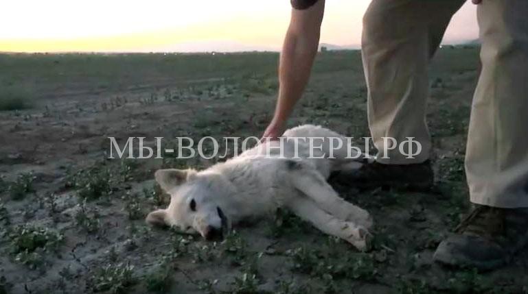 Спасение-белой-овчарки-брошенной-в-пустыне-1