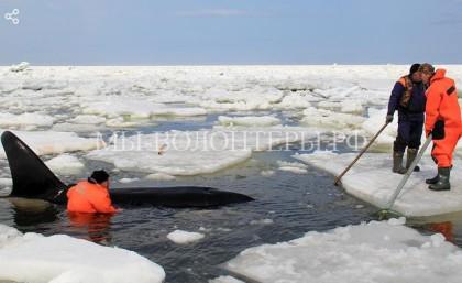 Для операции по спасению китов-косаток понадобилась спецтехника МЧС и… немного доброты