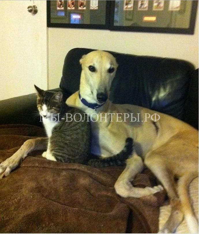 Спасенная борзая и слепая кошка нежно привязаны друг к другу6