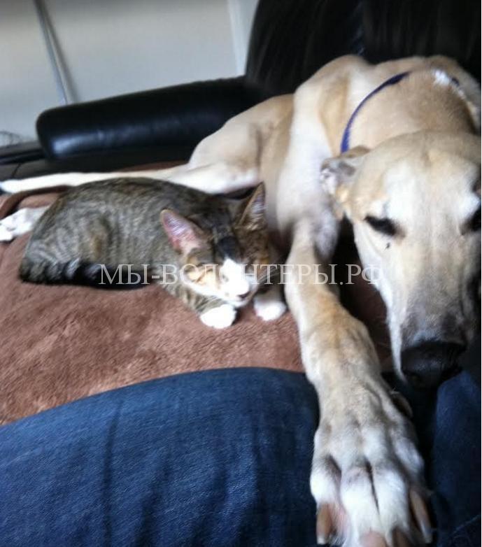 Спасенная борзая и слепая кошка нежно привязаны друг к другу8