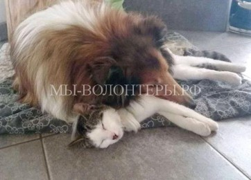 Колли Молли и кот Моисей неразлучны с первого дня встречи
