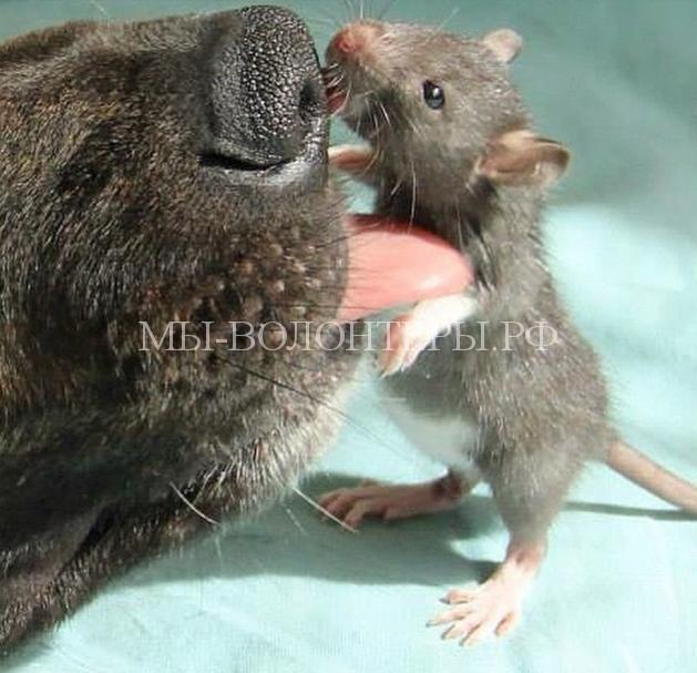 Дружба крысы и овчарки4