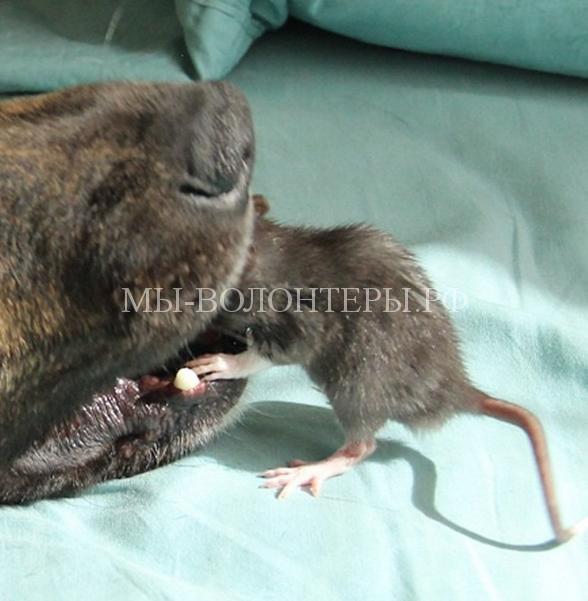 Дружба крысы и овчарки7
