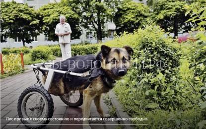 Благодаря добрым людям беспризорная собака обрела дом и способность передвигаться