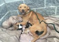 Выброшенная на улицу мама-питбуль с 10 щенками спасена