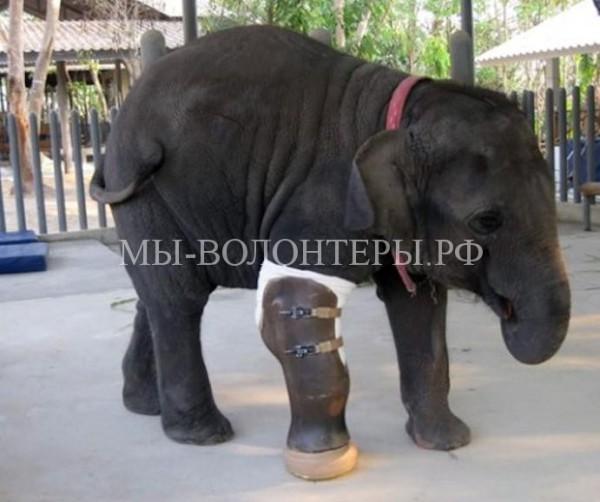 Слонихе установили самый большой в мире протез