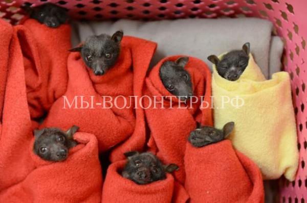 Спасение щенков летучей лисицы от гибели