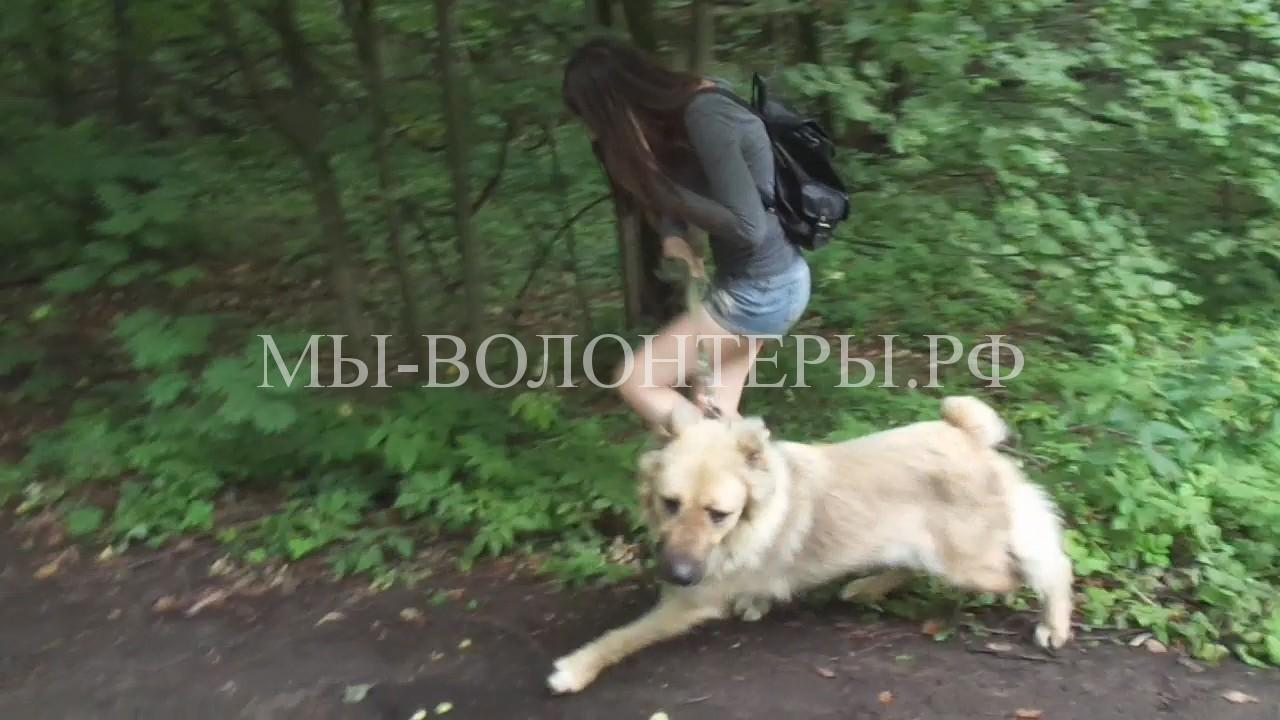 челкина-в-лабутенах-выгуливает-собак-приюта