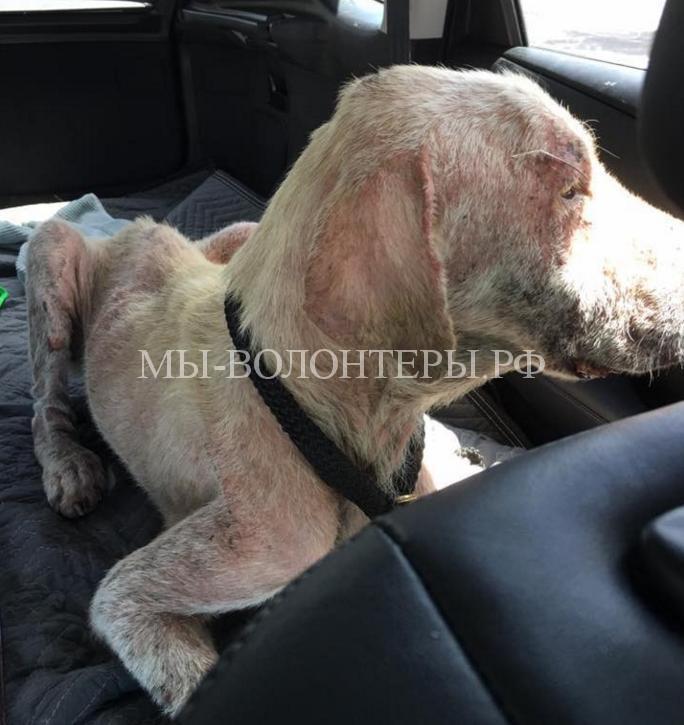 Спасение собаки умирающей у дороги4