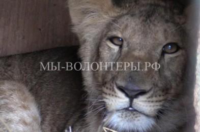 Теряющую зрение львицу спасли сотрудники питомника для собак