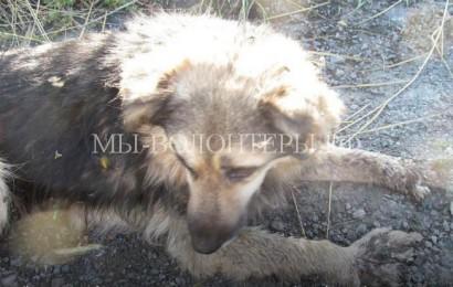 Жители Омска спасают Джульбарса с раздробленными лапами