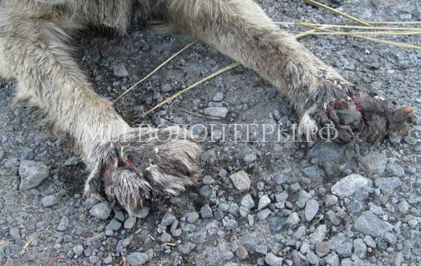 Омск спасает собаку с раздробленными лапами2