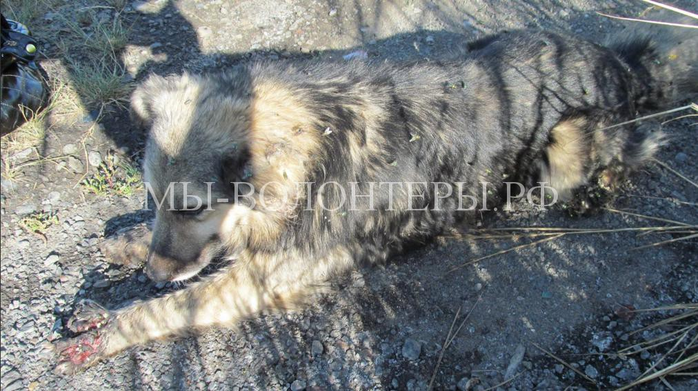 Омск спасает собаку с раздробленными лапами5
