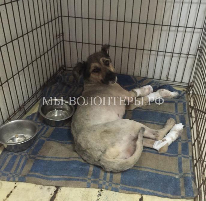 Омск спасает собаку с раздробленными лапами6