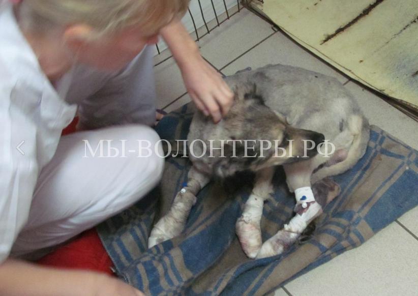 Омск спасает собаку с раздробленными лапами7