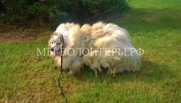 Стрижка собаки творит чудеса — с Лазаря состригли 16 кг шерсти