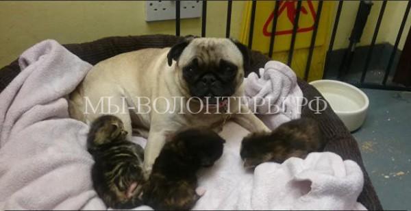 Собака заменила котятам маму в приюте для бездомных животных