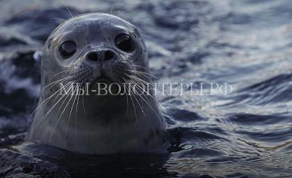 Спасенный тюлененок, выпущенный в море, вернулся к своим спасителям