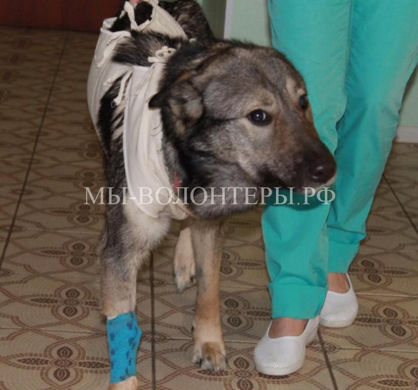 Спасение собаки с вросшей в шею веревкой