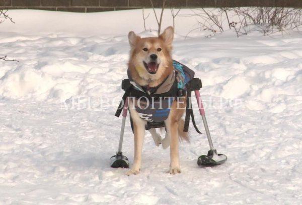 Приютская Алиса с параличом задних лап получила зимнюю инвалидную коляску