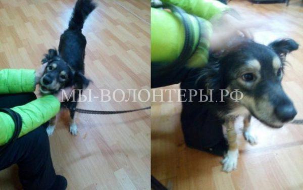 Волонтеры спасли собаку, которую живодеры взорвали петардой. Пёс поправился и ищет дом