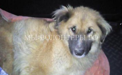 Спасение бездомной собаки, попавшей в охотничий капкан