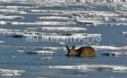 Спасение косули, застрявшей на льдине