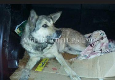 Жители спасают собаку с огнестрельным ранением позвоночника