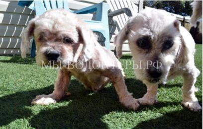 Спасение собак редкой породы лхасский апсо. Их бросилхозяин