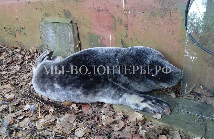 Спасение маленького тюлененка в Ленинградской области