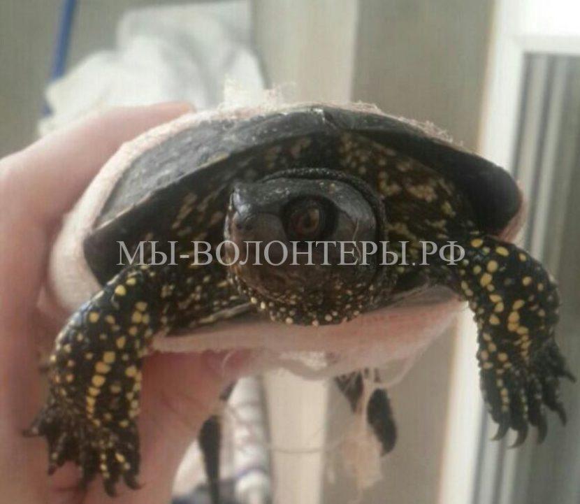 Житель Воронежа спас черепаху, которую переехал автомобиль на трассе