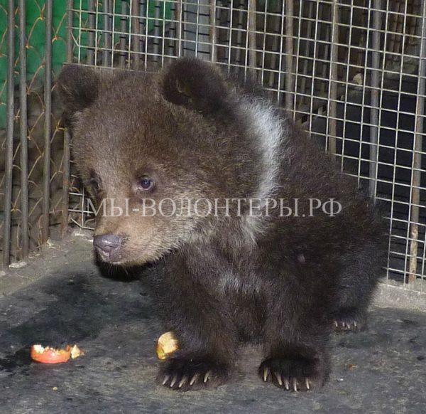 Истощенный медвежонок, оставшийся без матери, пришел к людям за помощью