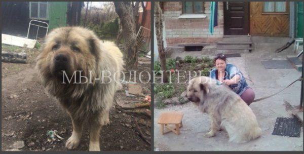 Кавказскую овчарку спасли от усыпления и нашли ей новый дом