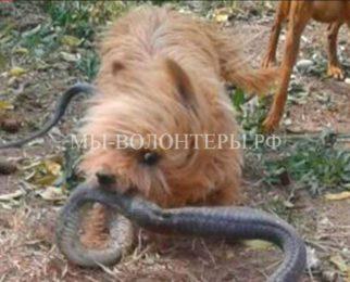 Верный пес спас хозяйку от укуса кобры ценой собственной жизни