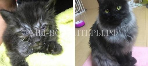 Спасенный с обочины дороги котенок через год превратился в красавца с серебристой шубкой