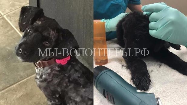 Волонтеры спасли щенка, с которого сняли 700 клещей