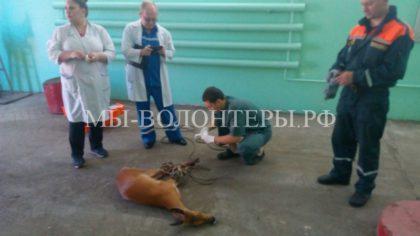 На станцию скорой помощи прибежала раненая косуля