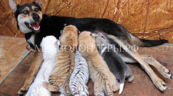 Собака приняла четырех тигрят и стала их кормилицей
