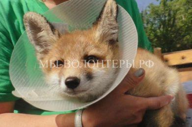 Жители спасли лисенка со сломанной лапой