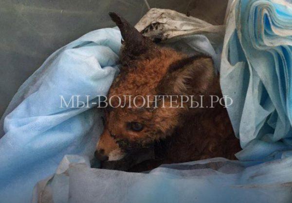 Жители Екатеринбурга пытались спасти лисичку, застрявшую в гудроне