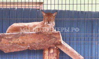 История со спасением рыси помогла внести важные поправки в закон о защите животных