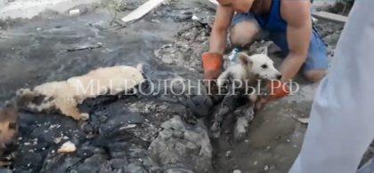 Спасение щенков из гудронной ловушки