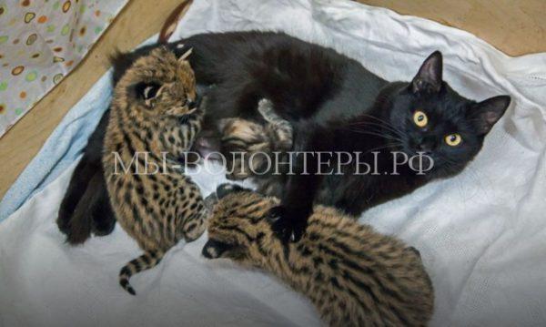Бездомные кошки, которых приютили сотрудники зоопарка, стали приемными мамами для сервалов