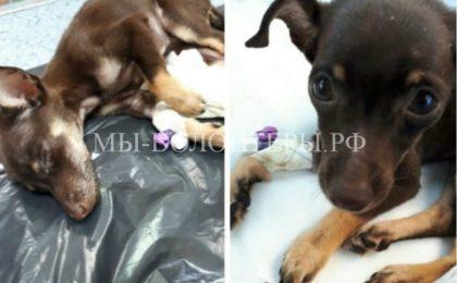 Спасение умирающего щенка, выброшенного на улицу с медицинским катетером в лапке