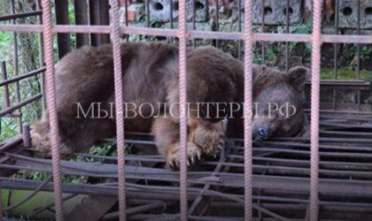 Волонтеры Ставрополья спасли измученную медведицу