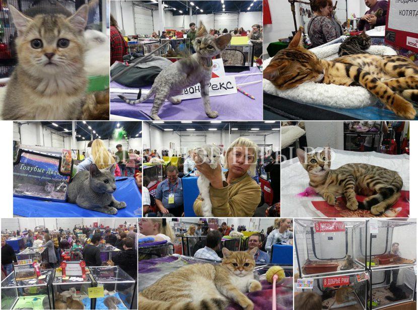 23-24 сентября 2017 — выставка  кошек «Кэт-Салон-Сентябрь» в Сокольниках